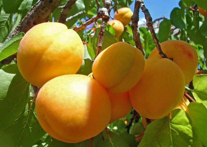 Абрикос «Десертный» относится к числу наиболее популярных и востребованных для культивирования в приусадебном садоводстве средней полосы нашей страны