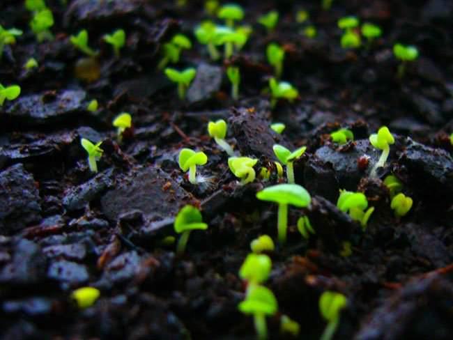 Выращивание маргариток начинается с февраля-марта