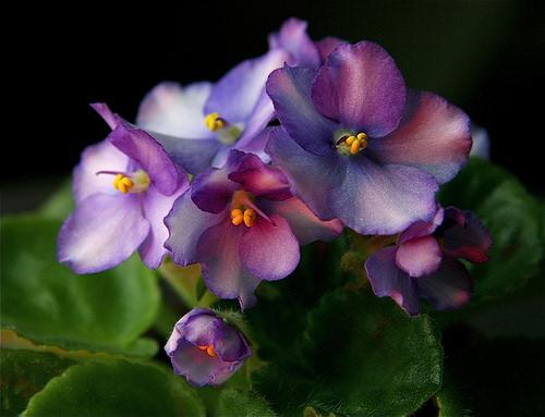 Фиалки – самые очаровательные растения