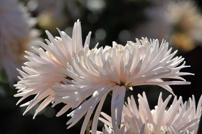 Выращивать хризантемы под силу большинству садоводов
