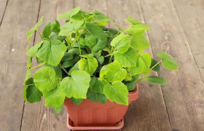 Оптимальным вариантом является посадка пророщенного семенного материала на стадии семядольных листочков на гряды открытого грунта