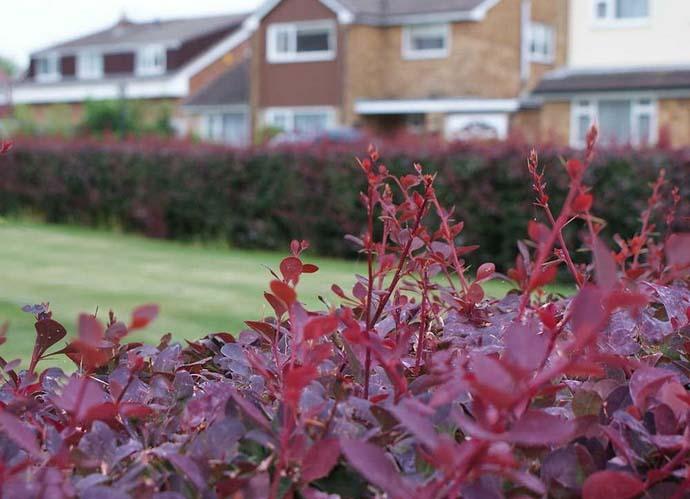 В основном барбарис применяют для обустройства живых изгородей