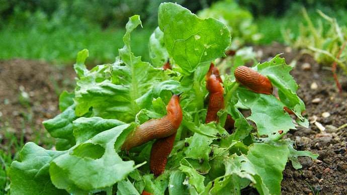Слизни наносят серьезный вред многим дачным растениям, но предпочитают молодые, с большой и мягкой листвой