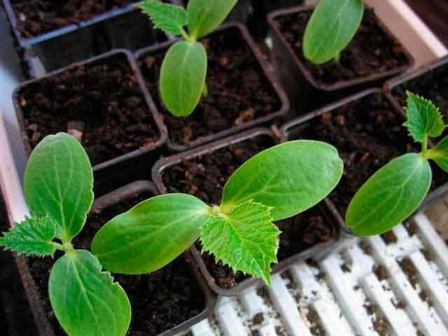 Выращивать огурец «Муравей F1» можно рассадным способом