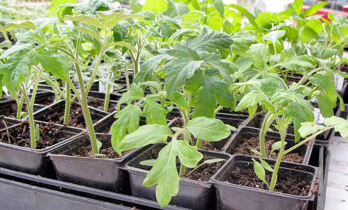 Выращивание помидоров Рома осуществляется рассадным способом