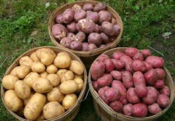 Сорта картофеля для Урала подобрать достаточно сложно