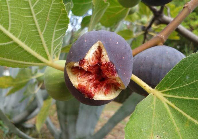 Основная сложность при выращивании инжира состоит в том, что это растение нуждается в большом количестве солнечных дней