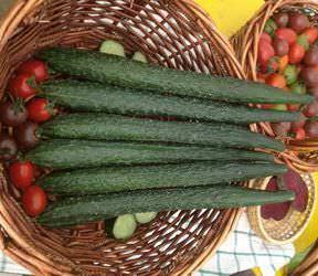 Огурцы «Аллигатор f1» являются раннеспелой овощной культурой