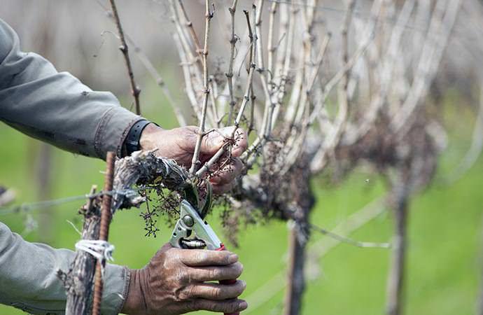 В марте следует закончить обрезку неукрывных сортов, чтобы избежать большого сокоотделения