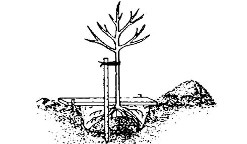 Абрикос «Черный принц» необходимо высаживать на хорошо освещаемых и прогреваемых солнцем участках
