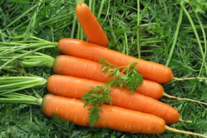 Морковь Шантане популярна среди огородников