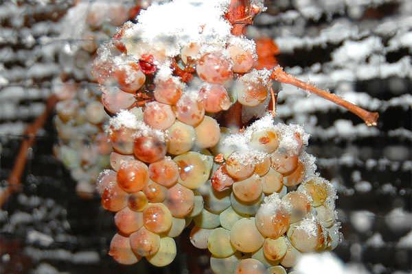 В январе заранее заготавливайте все необходимые удобрения для винограда