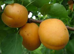 Абрикос «Голдрич» характеризуется высокой урожайностью