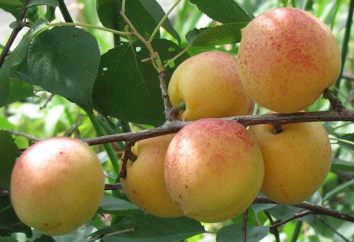 Вызревание урожая сорта «Сардоникс» происходит в начале августа