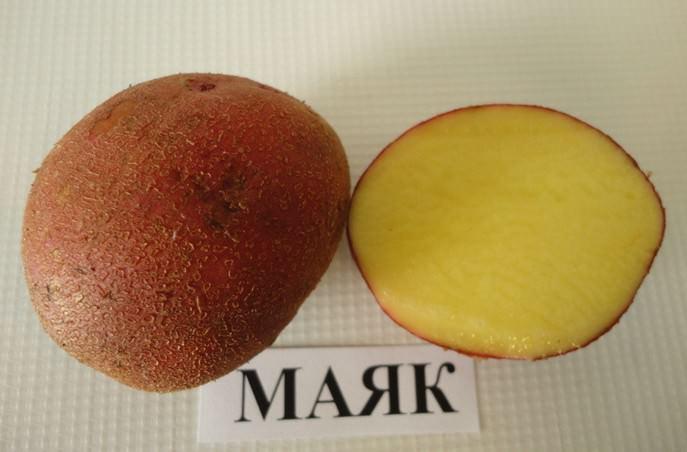 Сорт картофеля «Маяк» характеризуется высокой пластичностью в изменяющихся климатических условиях