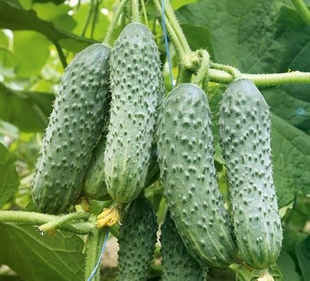 Сорт огурцов «Вятский f1» характеризуется высокой урожайность
