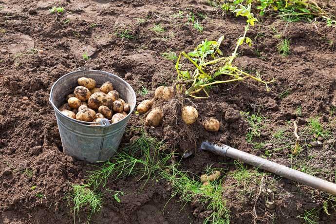 картофель каратоп описание сорта фото отзывы
