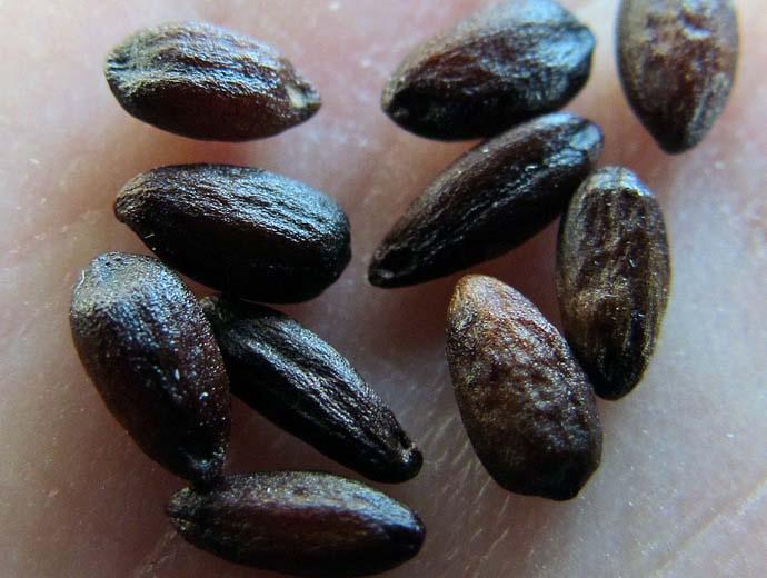 Для размножения используют семена самых сочных плодов барбариса