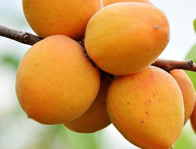 В плодах абрикоса «Погремок» содержится значительное количество клетчатки, которая в сочетании с низкой калорийностью продукта делает его идеальным для диетического питания