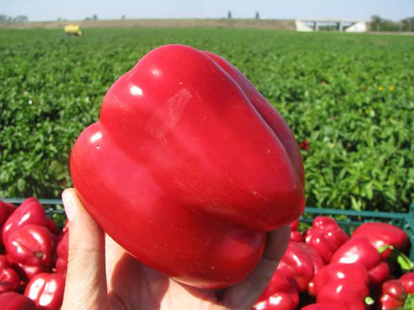 Сорт Геракл относится к числу востребованных, позднего срока вызревания урожая