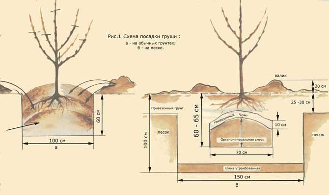 При проведении весенней посадки груши Памяти Яковлева участок необходимо тщательно и правильно подготовить еще с осени