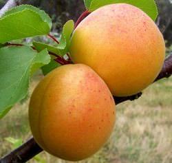 Абрикос «Персиковый» популярен среди садоводов