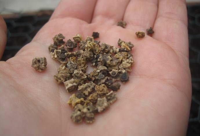 Семена свёклы относительно медленно прорастают, поэтому перед посадкой их необходимо замочить
