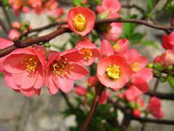 Айва японская – кустарник, который относится к семейству Розовых