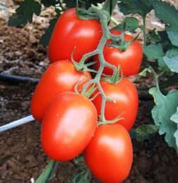 Томат Рома относится к категории детерминантных овощных культур