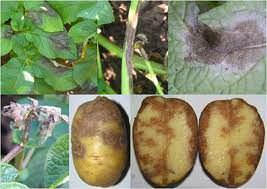 Фитофтороз – грибное заболевание картофеля