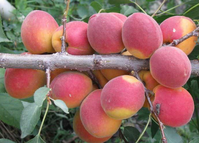 В средней зоне садоводства сорт абрикоса «Саратовский рубин», обладающий большой устойчивостью к заболеваниям, появился относительно недавно