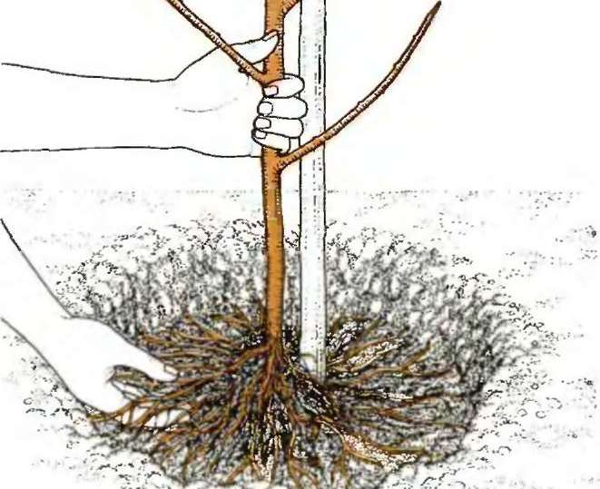 Нектарин высаживается согласно стандартной схеме