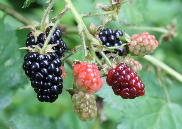 Период активного плодоношения ежевики «Дойл» приходится на конец июля