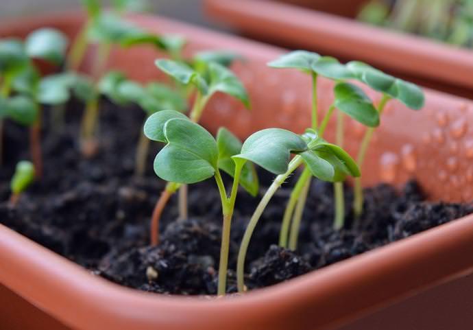 Очень важно в первые дни создать растениям оптимальное освещение