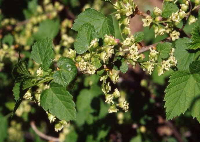 Плодоношение сорта Черный жемчуг можно наблюдать уже в первой половине июня