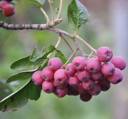 Рябина Гранатная пользуется спросом у садоводов
