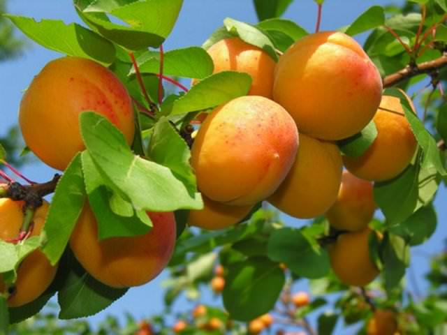 Особое значение имеет правильная подкормка взрослых абрикосовых деревьев