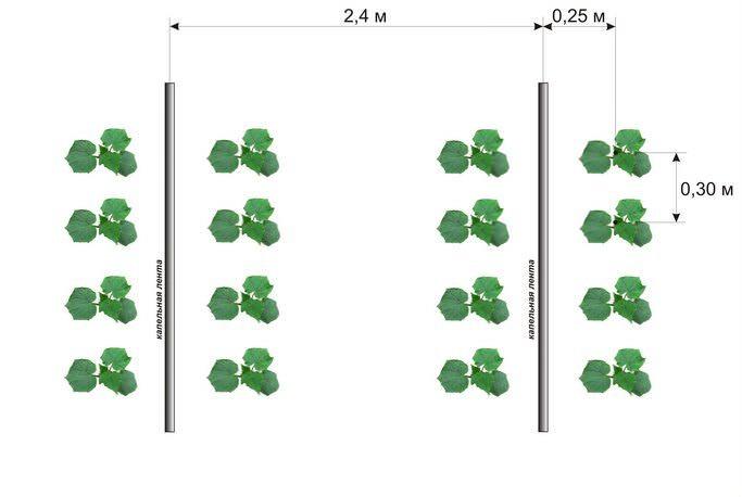 Схемы посадки огурцов могут быть разными