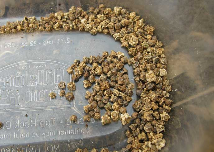 В Сибири свеклу можно выращивать прямым посевом семян на гряды