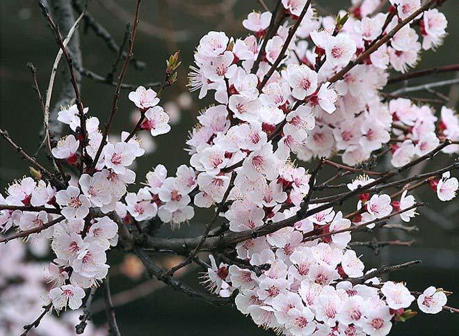 Абрикос сорта «Голдрич» характеризуется как зимостойкое и высокоурожайное