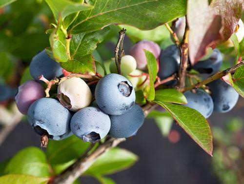 Голубика — очень ценная по своему химическому составу ягода