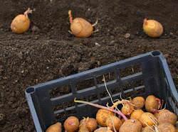 Картофель выращивают все без исключения дачники