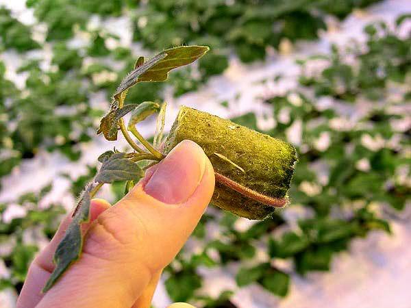 Томаты являются одной из наиболее популярных овощных культур, которые выращиваются гидропонным методом