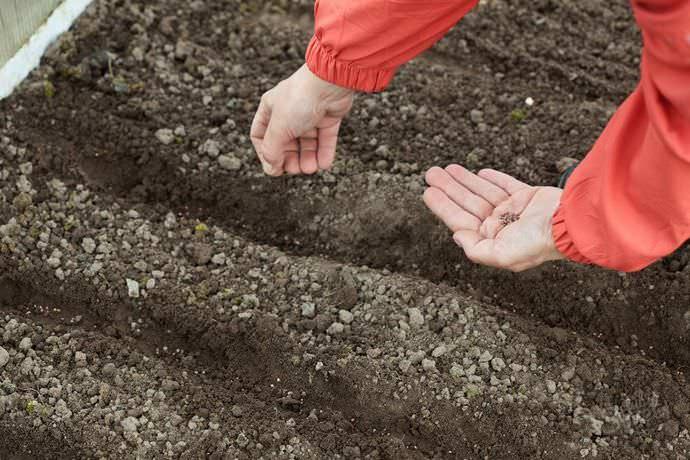 Для выращивания редиса «Жара» необходимо выделить солнечный и защищенный от ветра участок