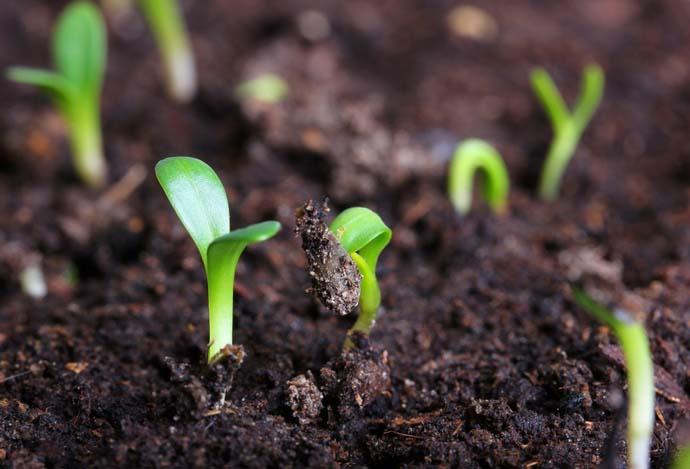 Посев семян сорта «Изумрудные сережки F1» непосредственно в грунт следует проводить в середине мая