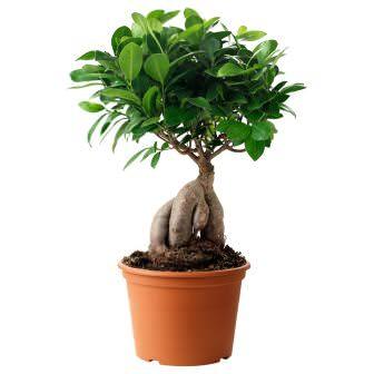 Фикус микрокарпа – бонсай, миниатюрная копия большого дерева