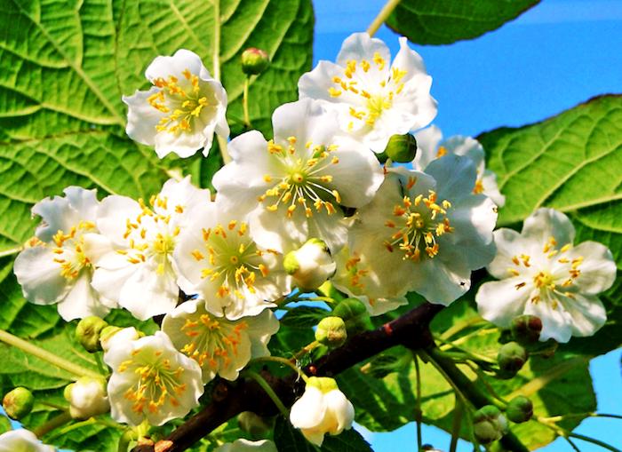 Актинидии относятся к категории кустарниковых лиановидных растений с листопадными свойствами