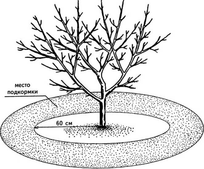 Правильная и своевременная подкормка груши «Отрадненская» является гарантией регулярного и обильного плодоношения