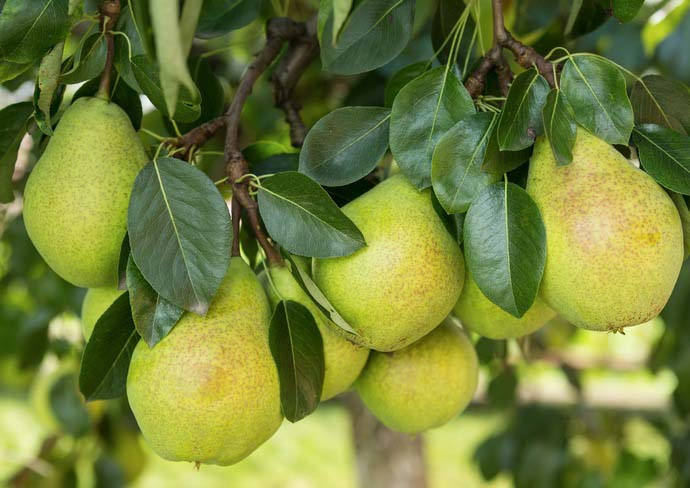 Чем подкормить яблоню зимой