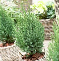 Китайский можжевельник «Стрикта» станет украшением любого сада